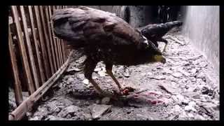 Youtube Video Animal : EAGLE VS RAT