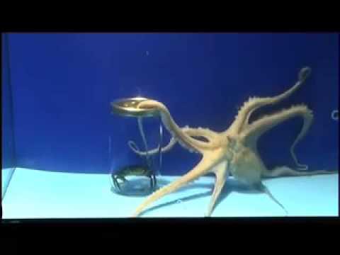 Octopus: soft intelligence / Pulpos: suave inteligencia /Polbos: suave intelixencia