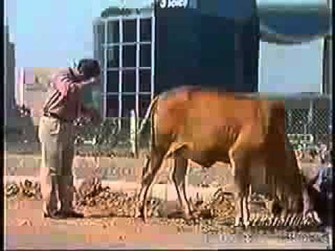 Hindu Indian's Drinking Cow Piss Urine! Shocking! video