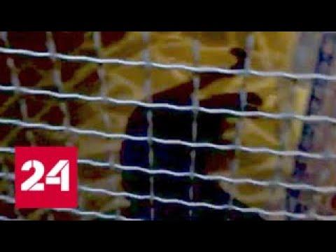 Пантера в Подмосковье: хищница сожрала служителя зоопарка, который кормил ее - Россия 24