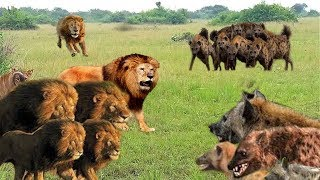 Super-classic Battle of Lions vs Hyenas, stronger will win - Wild Animals 2018