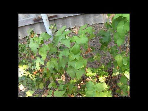 Выращивание черенками черную смородину 310