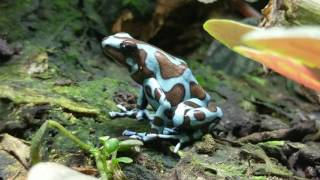 A walk through of my dart frog room and vivariums! Focusing on Galacts,  Auratus, Tincs, Atelopus