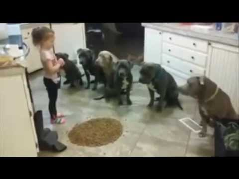 4 Year Old Little Girl Feeding And Controlling 6 Pitbulls video