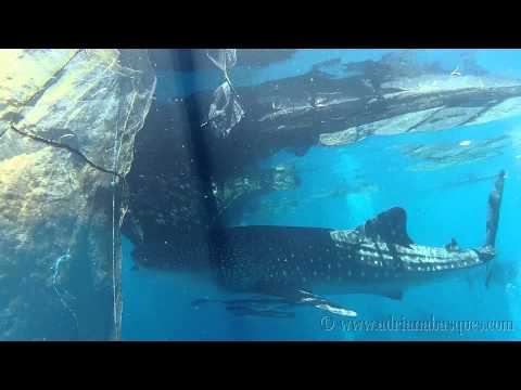 Whale shark water world