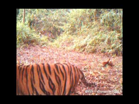 Sumatran tiger and cubs in Bukit Tiga Puluh - Rimbang Baling Wildlife Corridor