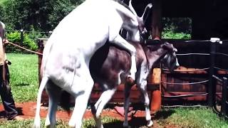 Download Horse  Mating with Donkey - Animals Mating - Animals Sex 3Gp Mp4