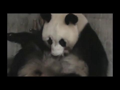 Nacimiento Osos Panda