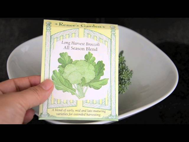 Growing broccoli in containers: harvesting the first broccoli head!