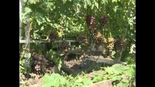 Сам себе агроном   Ультраранние сорта винограда