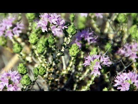 فوائد الزعتر لعلاج الكحة والبرد والحلق واللوزتين   وصفات أعشاب طبيعية thumbnail