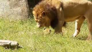 """Little Lion Cubs at NC Zoo with """"Mom and Dad"""" (September 2014)"""
