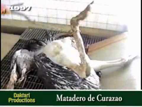 1997/054 MATANZA DE AVESTRUCES EN CURAZAO - PARTE I.wmv