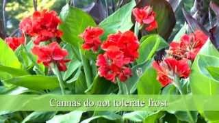 How to Plant Canna Bulbs