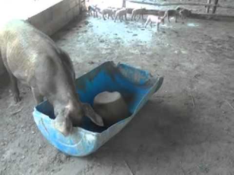 Cria de cerdos a campo abierto proyecto tauramena 8 youtube for Proyecto de criadero de mojarras