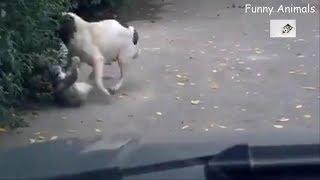 【Funny Animals】犬と猫 , 大きな猫の戦い, 犬は猫をかみます