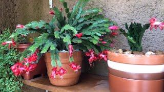 Flor de maio gosta de sol ou de sombra? Veja como cuidar e plantar