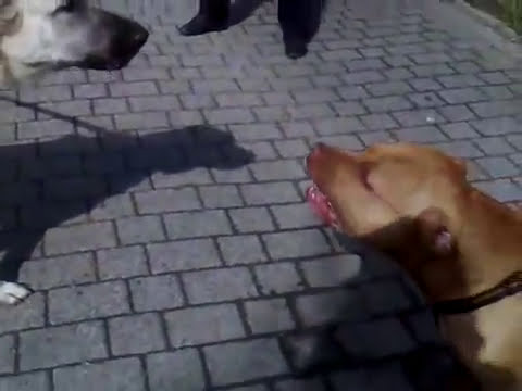 KANGAL MAGIC VS REDNOSE ATILLA