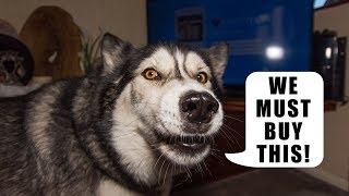 Husky Has Opinions On TV