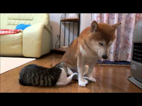 寒い朝の柴犬と子猫 Shiba and kitten which get warm at heating