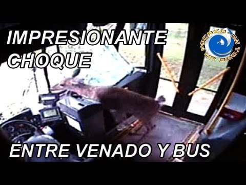 IMPRESIONANTE CHOQUE ENTRE VENADO Y BUS