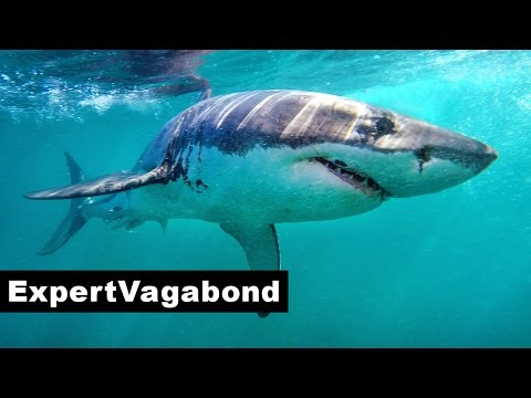 GREAT WHITE SHARKS - South Africa