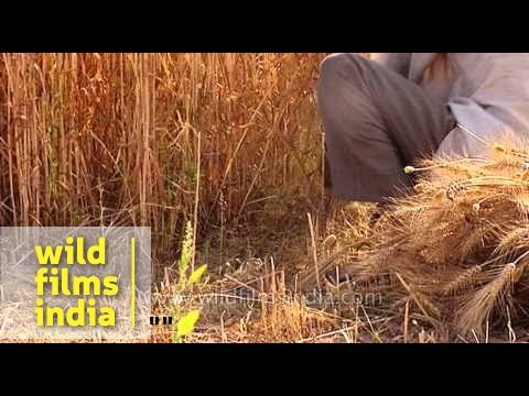 Cultivation of wheat in India
