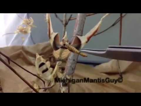 Giant Mantis For Sale Giant Devil Flower Mantis