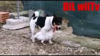 Hot dog Rape to chiken bladkar کتے نے مرغی کی عزت لوٹ لی