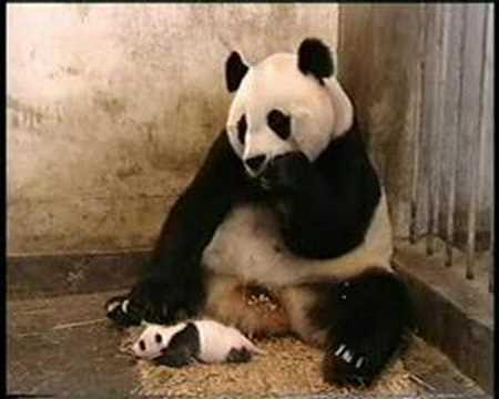 oso panda estornudando