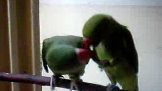 Ringneck Parrot & Alexandrine Parakeet Chilli Food Fight 2