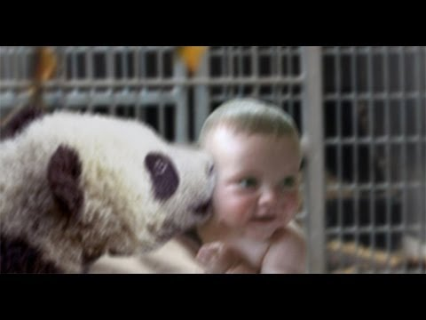 Funny Baby Panda Kiss