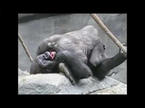 Cara Pacaran Dan Kawin Gorila