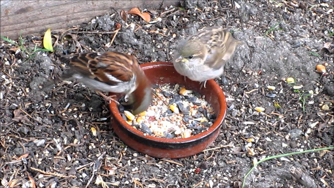 House Sparrow Male House Sparrow Male Taking