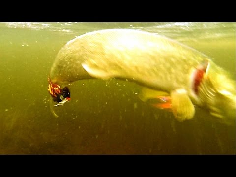 Fishing: cool never seen before big pike attacks on fly underwater. Рыбалка щука на муху атакa.