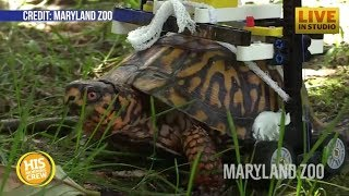 Injured Turtle Gets Help From Lego Wheelchair