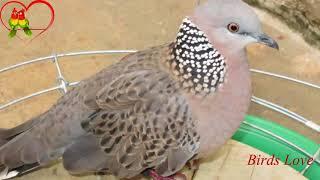 30 Phút tiếng chim cu rừng gáy tập bổi không tạp âm mới