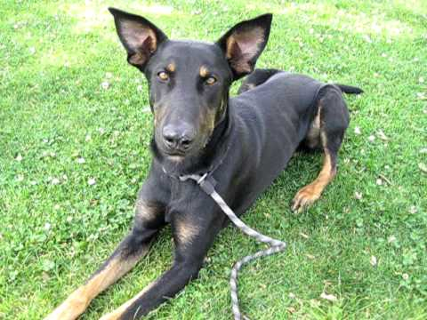 Tall Handsome Doberman Mix (A268069) at Pasadena Humane - YouTube