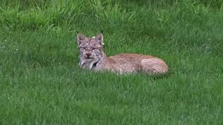 Majestic Animals — The Lynx
