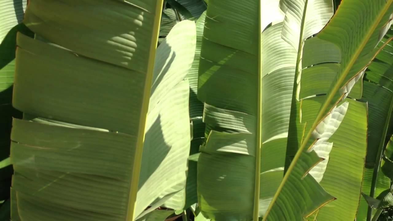 Big Leaf Palms Big Leaf Palms