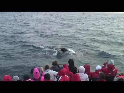 Whale Watching with Elding Video