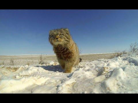Манул Pallas's Cat, студия «Зов тайги»