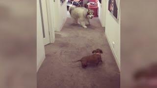 モフモフな犬と小型犬の追いかけっこにほっこり♪