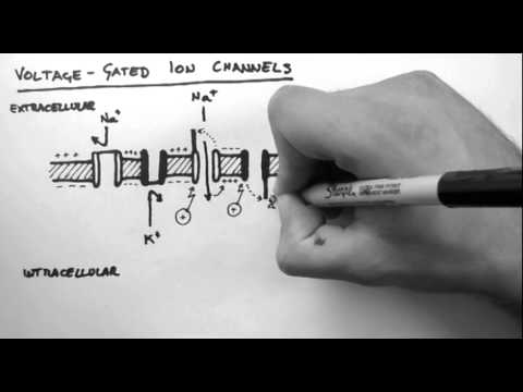 Action Potentials 2 - Voltage-Gated Ion Channels thumbnail