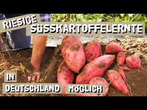Warum Sich Der Süßkartoffelanbau Auch In Deinem Garten Lohnt!