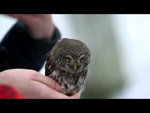 Lietuvoje žieduojama žvirblinė pelėda