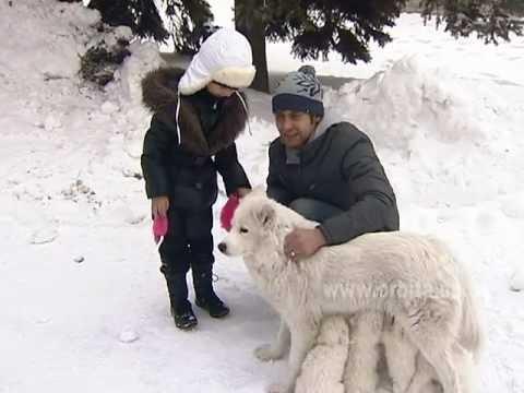 Самоедская лайка - собака для семьи