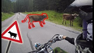 Cows on the road - RIDE SAFE!