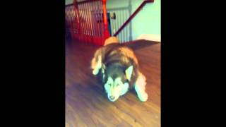 Giant Alaskan Malamute Whining Like a Little Baby...