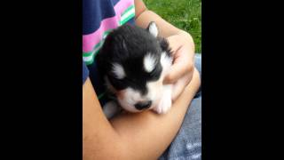 Alaskan Malamute Puppy Howling for The First Time